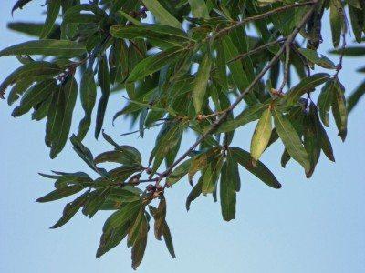 Willow Oak FL